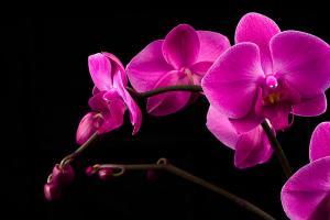 Fototapeta do spálne Ružová orchidea 18499 - vliesová