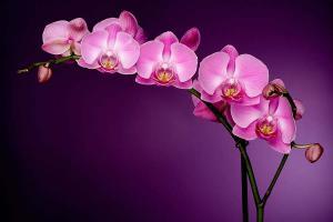 Fototapeta Fialová orchidea 85 - vliesová