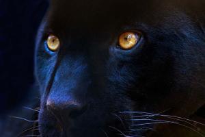 Fototapeta Šelmy - Čierny panter 3155 - vliesová