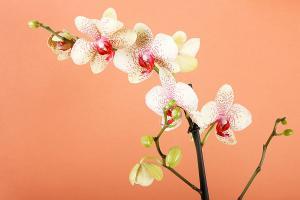 Fototapety Orchidea 18516 - vliesová