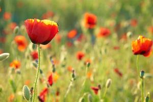 Kvetinové fototapety Červené Maky 3142 - vliesová