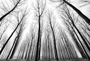 Tapeta Čierno biela fotka Stromy 29232 - vliesová