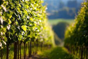 Tapeta Zelený vinič 18573 - vliesová