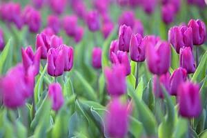 Tulipány fototapeta 4238