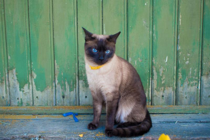 Mačka s obojkom proti blchám